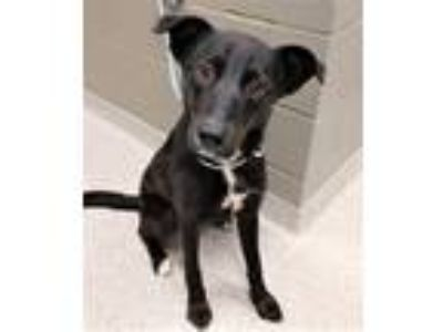 Adopt Doreen a Black - with White Labrador Retriever / Mixed dog in Oswego