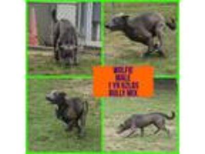Adopt Wolfie a American Staffordshire Terrier