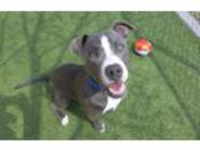 Adopt ROCKIE a Pit Bull Terrier