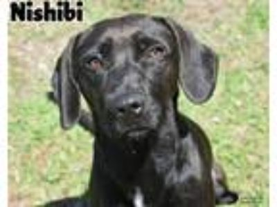 Adopt Nishibi a Labrador Retriever / Mixed dog in Gautier, MS (25164986)