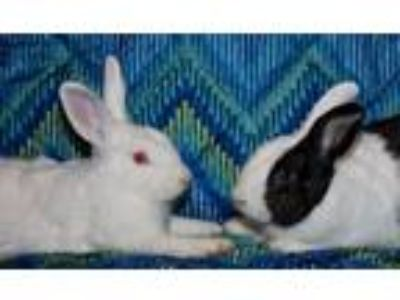 Adopt Van Gogh and Alaska a Bunny Rabbit