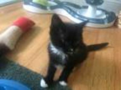 Adopt Bootsie a All Black Domestic Shorthair / Domestic Shorthair / Mixed cat in