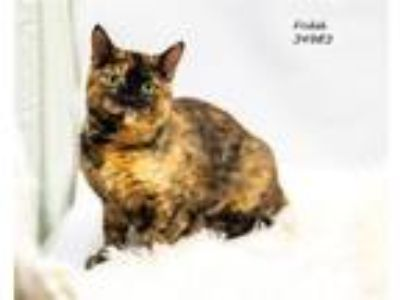 Adopt Fridah a Domestic Short Hair