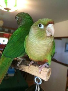 Cinamon Greencheek Conures