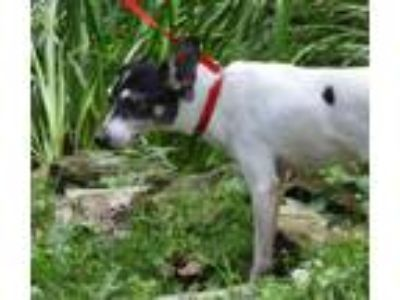 Adopt Pepper a Rat Terrier