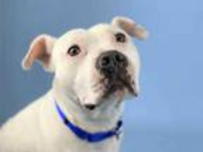 Adopt Boo a White American Pit Bull Terrier / Mixed dog in Woodinville