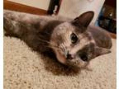 Adopt Chimara a Domestic Short Hair
