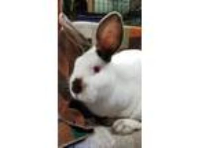Adopt Tyrion a White Californian / Mixed rabbit in Oakland, CA (25090440)