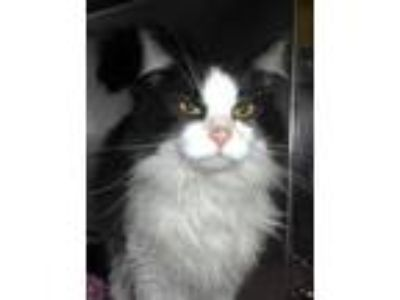Adopt Lucy a Domestic Long Hair