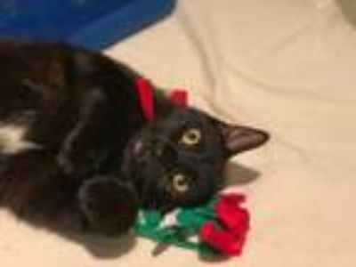 Adopt ~midnight~ a Domestic Short Hair