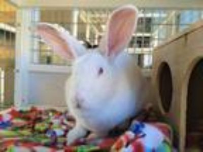 Adopt Snowball a Albino or Red-Eyed White Florida White / Mixed rabbit in Morgan