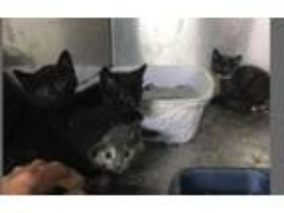 Adopt 4 Kittens a Black (Mostly) Domestic Shorthair (short coat) cat in Mount