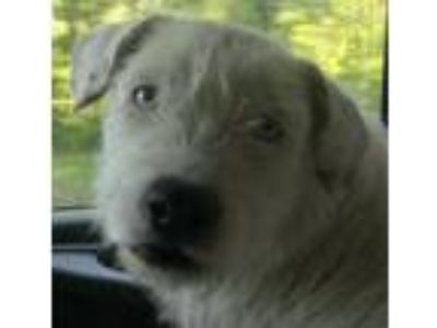 Adopt Snow a Wirehaired Terrier
