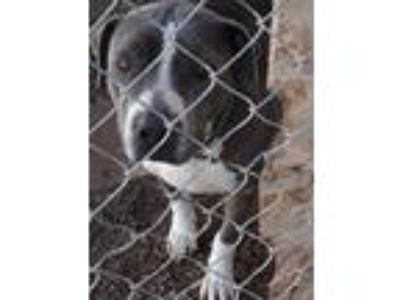 Adopt Hailey a Gray/Silver/Salt & Pepper - with White Pit Bull Terrier / Mixed