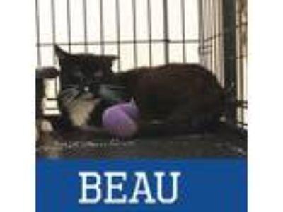 Adopt Beau a Black & White or Tuxedo Domestic Shorthair (short coat) cat in