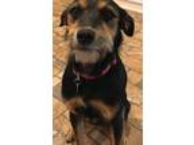 Adopt Dixie a Black - with Tan, Yellow or Fawn Terrier (Unknown Type