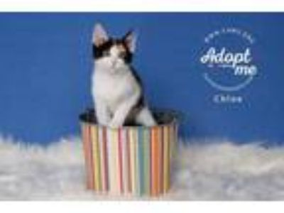 Adopt Chloe a Domestic Shorthair / Mixed cat in Salt Lake City, UT (25641420)