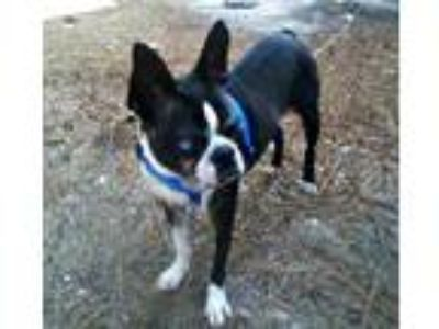 Adopt Available RILEY a Black Boston Terrier / Mixed dog in Greensboro