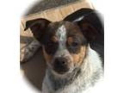 Adopt Sax a Tricolor (Tan/Brown & Black & White) Blue Heeler / Mixed dog in