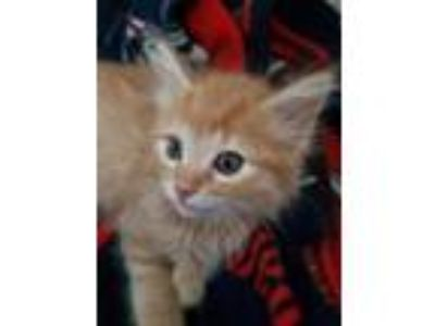 Adopt Pickle a Orange or Red Domestic Mediumhair / Domestic Shorthair / Mixed