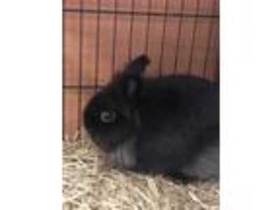 Adopt Drax a Black Other/Unknown / Other/Unknown / Mixed rabbit in Chamblee