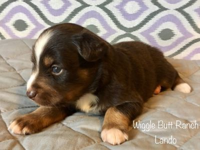 Miniature Australian Shepherd PUPPY FOR SALE ADN-90093 - ASDR small mini Aussie puppies
