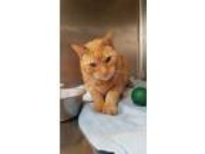 Adopt Newton a Orange or Red Domestic Shorthair / Domestic Shorthair / Mixed cat