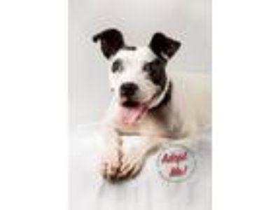 Adopt Maddie a Boston Terrier, Pit Bull Terrier