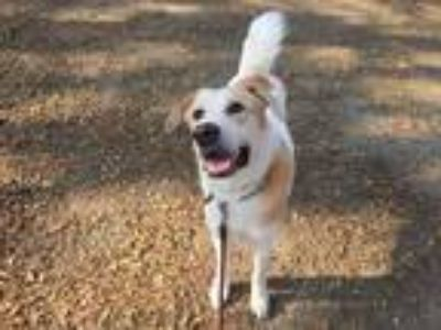 Adopt Dudu a White - with Red, Golden, Orange or Chestnut Akita / Retriever