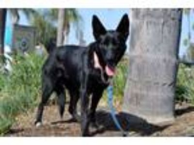 Adopt Savvy a German Shepherd Dog