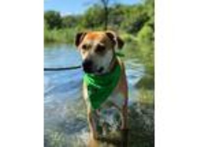 Adopt Cedric a Red/Golden/Orange/Chestnut Catahoula Leopard Dog / Labrador