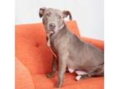 Adopt Charlize a Gray/Silver/Salt & Pepper - with White American Staffordshire