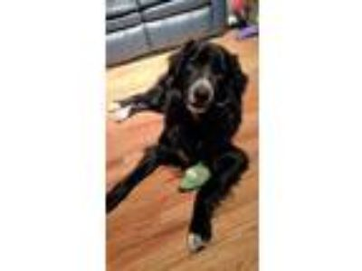Adopt Baldwin a Black - with White Flat-Coated Retriever / Border Collie / Mixed