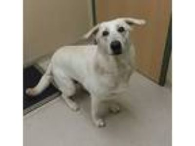 Adopt WYNTER a White German Shepherd Dog / Mixed dog in Clyde, NC (25875446)