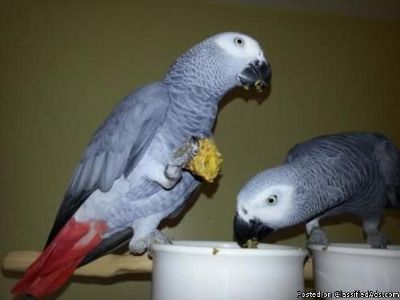 Female and male African grey parrots