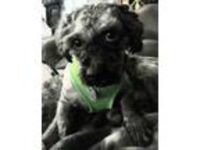 Adopt Lil Wade-2019 a Gray/Silver/Salt & Pepper - with Black Havanese / Poodle