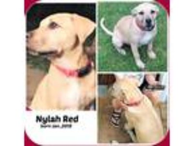 Adopt NYLAH RED a Tan/Yellow/Fawn - with White Labrador Retriever / Mixed dog in