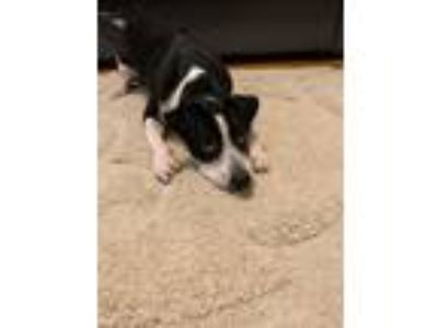 Adopt Kobe a Black - with White Border Collie / American Pit Bull Terrier dog in