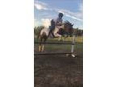Bay Overo Pain Mare sold