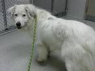 Adopt RILEY a Border Collie, Great Pyrenees