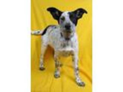 Adopt Hula a Australian Cattle Dog / Blue Heeler, Shepherd