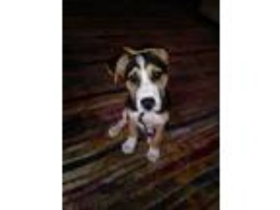 Adopt Snickers a Black - with Tan, Yellow or Fawn Australian Shepherd / Labrador