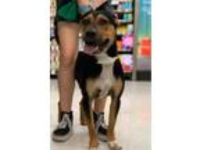 Adopt Max a Tricolor (Tan/Brown & Black & White) Pit Bull Terrier / Rottweiler /