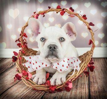 Duke Male French Bulldog