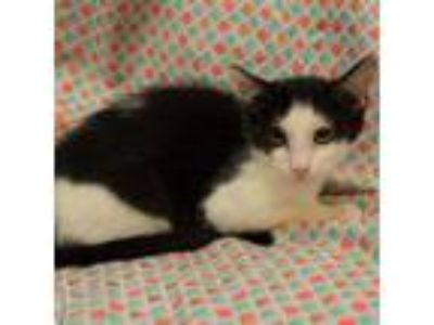 Adopt Mary a Domestic Short Hair