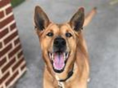 Adopt SCARLET a Brown/Chocolate - with White German Shepherd Dog / Labrador