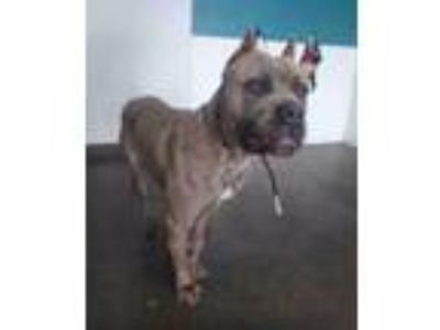 Adopt Brindel a Brindle American Staffordshire Terrier / Mixed dog in