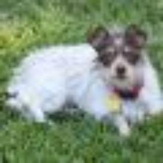 Demi Lovato Cairn Terrier - Australian Shepherd Dog