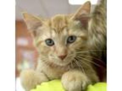Adopt Twizzle a Orange or Red Tabby Domestic Shorthair / Mixed (short coat) cat