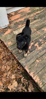 BEAUTIFUL purebred German Shepherd puppy